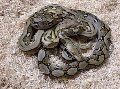 Picture of Suprise Tiger Pied Maker Pair